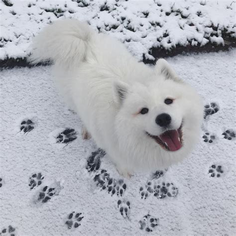 Pin By Nicole On Samoyed Puppies Samoyed True Friends Dogs