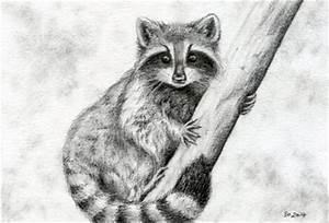Raccoon Sketch — Weasyl