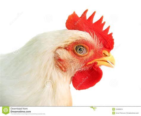 white chicken royalty  stock photo image