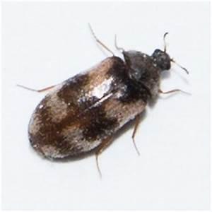 Kleine Schwarze Käfer Im Haus : kleine schwarz graue k fer auf der fensterbank speckk fer ~ Lizthompson.info Haus und Dekorationen
