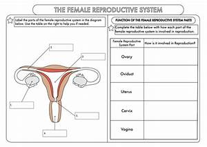 Gcse Worksheets On Human Reproduction By Beckystoke - Teaching Resources