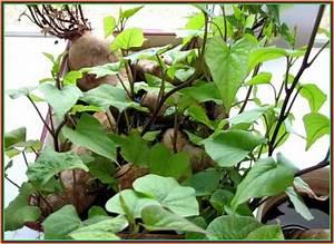 Patate Douce Plante : patate douce jamais trop tard ~ Dode.kayakingforconservation.com Idées de Décoration