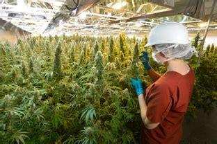 guide pour cultiver la marijuana sans materiel les plus myst 233 rieuses nouvelles sur le cannabis