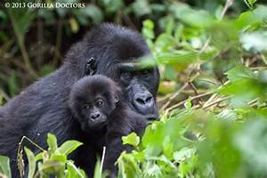 Largest Group of Habituated Grauer's Gorillas Gets a ...