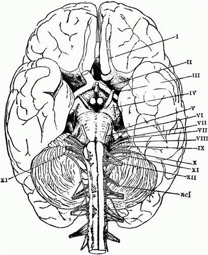 Brain Coloring Anatomy Pages Physiology Printable Human