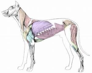 Picture Of Dog Skeleton Diagram