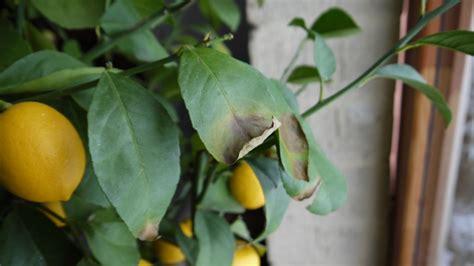 citronnier taches marron et feuilles qui tombent