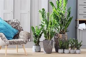 Robuste Zimmerpflanzen Groß : zimmerpflanzen f r das perfekte ambiente im haus ~ Sanjose-hotels-ca.com Haus und Dekorationen