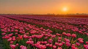 Earth, Tulip, Flowers, Sunset, Plantation, Field, 4k, Hd, Flowers, Wallpapers