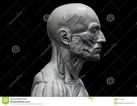 Head And Torso Anatomy In Black And White Stock