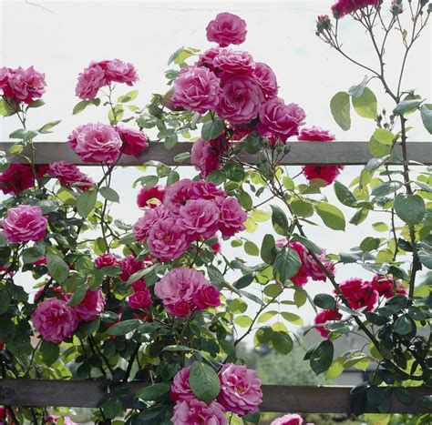 pruning climbing roses winter 87 best images about roses on pinterest gardens pink roses and rose care