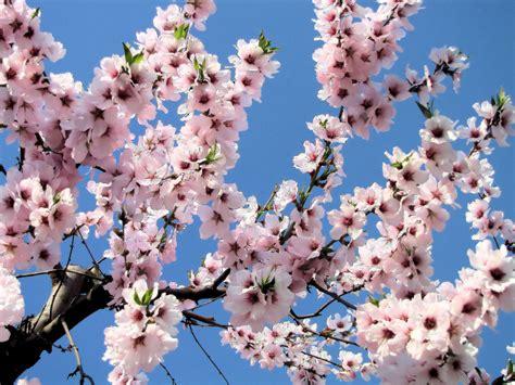 foto mandorlo in fiore sagra mandorlo in fiore agrigento my cms
