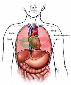 Diagram Of Chest Organs