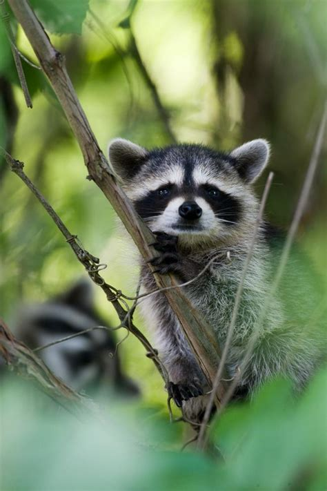 raccoon mdc discover nature
