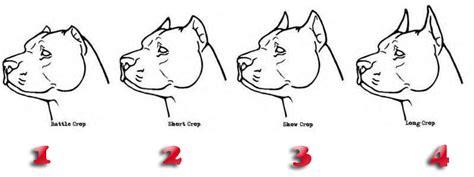 corte de orejas pitbull corte de orejas a pitbull explicacion a detalle taringa