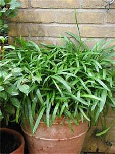 Graines D Agapanthe : agapanthe plantation multiplication et entretien ~ Melissatoandfro.com Idées de Décoration