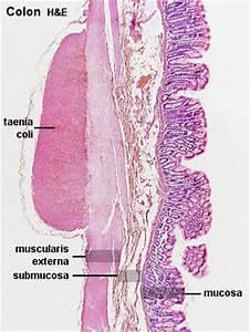 Colon Histology 2009