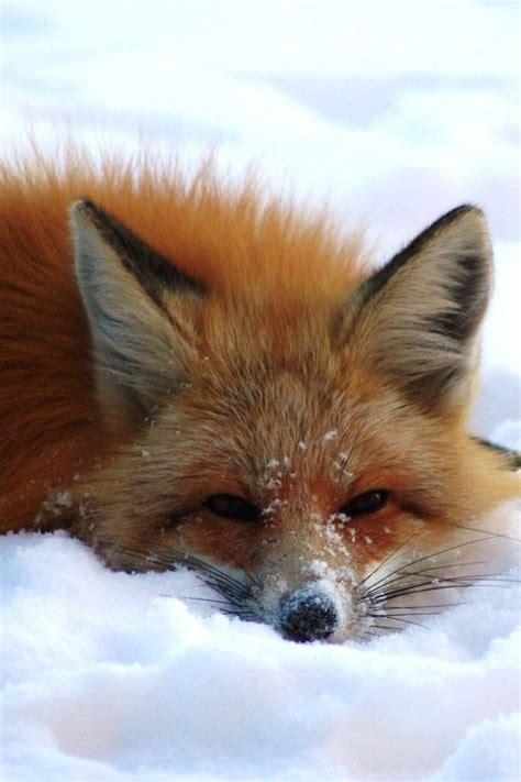 fox laying   snow luvbat