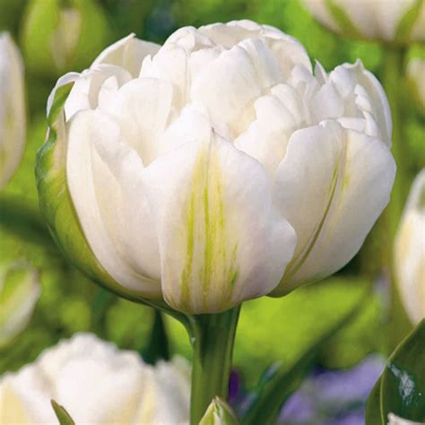 tulip bulbs white collection dobies