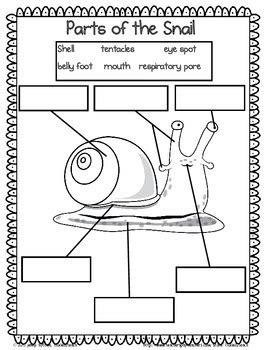 snail science unit  kindergarten  tickledteach tpt
