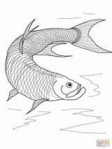 Tarpon Coloring Fish Pages Betta Printable Drawing Walleye Sketch Template Getdrawings Supercoloring sketch template