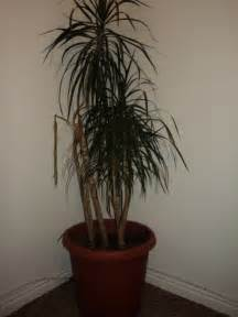 House Plant Palm Tree