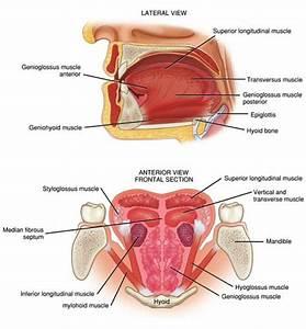 Tongue Muscles