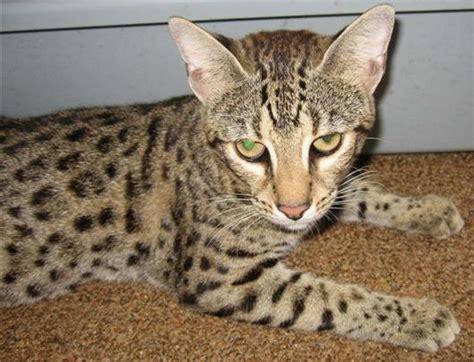 Szafari Macska  Safari Cat Cicfarok
