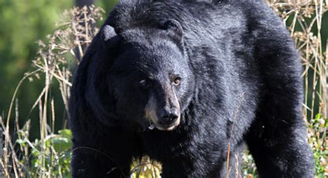 black bear basic facts  black bears defenders