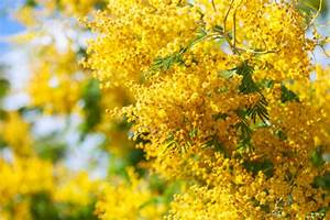 Format For Medical Report Yellow Acacia Dealbata Photo Free Download
