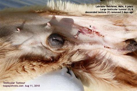 veterinary  travel stories swollen lump   belly