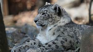 Snow Leopard Wallpapers HD Pictures – One HD Wallpaper ...