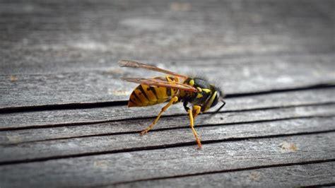 Wespen Vertreiben Hausmittel by Wespennest Selbst Entfernen Was Tun Um Wespen