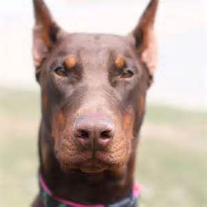 red doberman puppies for sale and why to choose them