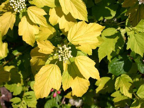 blasenspiere gelbe blasenspiere dart s gold