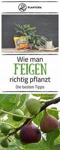 Feigenbaum Im Garten : feigenbaum im garten experten tipps vom kauf bis zur pflege tipps tricks garten ~ Orissabook.com Haus und Dekorationen