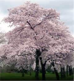 Japanese Flowering Cherry Tree