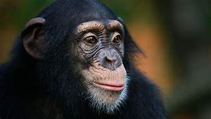Humans Can Outlearn Chimps Thanks To More Flexible Brain