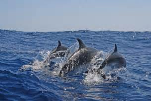 Bermuda Dolphins