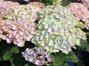 Hydrangea Macrophylla Winterhart : ballhortensie 39 magical revolution 39 hydrangea ~ Michelbontemps.com Haus und Dekorationen