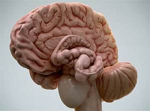 Anatomy Image Organs. free interactive brain anatomy 3d ...
