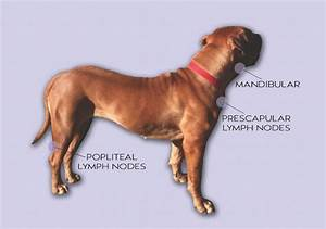 33 Lymph Nodes In Dogs Diagram