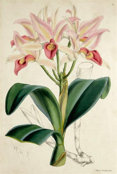 how to draw a cattleya flower james andrews cattleya guatemalensis floral magazine 1861 1868 botanical pinterest