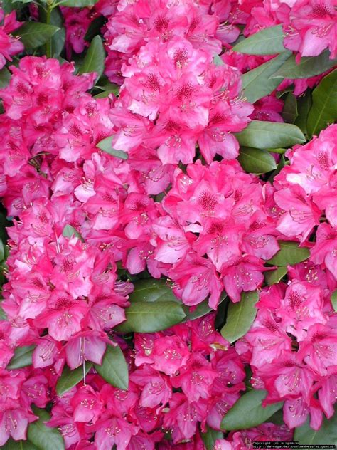 pictures of rhododendron colorful photos of the rhododendron flowers places boomsbeat