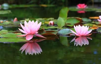 Lily Water Lilies Pond Background Desktop Telegram