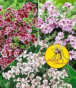 Verpiss Dich Pflanze : duft geranie 39 moskito schocker 39 aktionen bei baldur garten ~ Orissabook.com Haus und Dekorationen