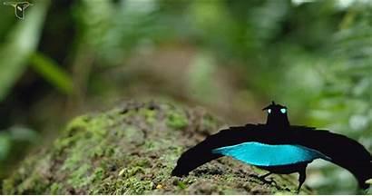 Paradise Bird Superb Vogelkop Paradisier Nuptiale Superbe