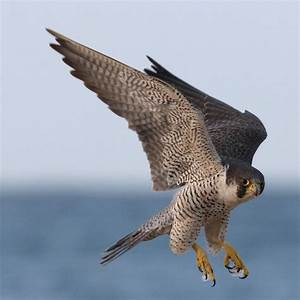RM of Lumsden 189 Management Plan for the Peregrine Falcon ...  Falcon