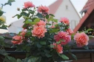 Rosen Im Topf überwintern : rose im k bel im treibhaus berwintern seite 3 rund um die rose mein sch ner garten online ~ Orissabook.com Haus und Dekorationen