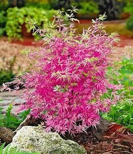 Roter Japanischer Ahorn : garten top kaufen japanischer zwerg ahorn ph nix 1 pflanze acer palmatum ~ Frokenaadalensverden.com Haus und Dekorationen